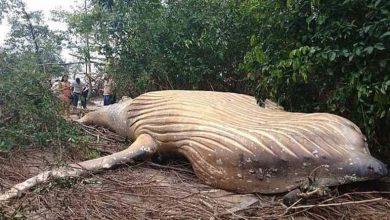 Photo of حوت ضخم يظهر في غابات الأمازون والسبب عجيب