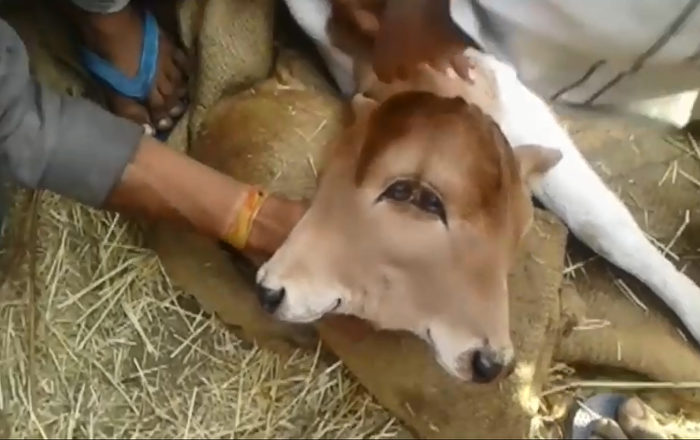 ولادة عجل برأس واحد ووجهين في الهند