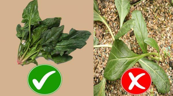 صورة توضح الفرق بين عشبة السبانخ والنبتة الشبيهة بها