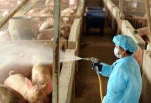 Photo of هاشتاغ فيروس جديد يتصدر التريند بعد اكتشاف فيروس جديد ينتقل من الخنازير في الصين وتحذيرات من تحوله لجائحة (شاهد)
