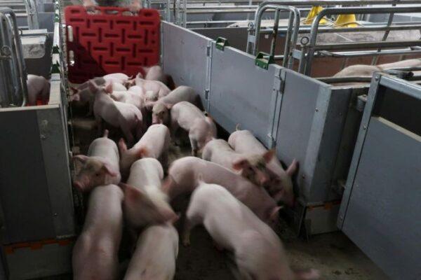 فيروس جديد من الخنازير