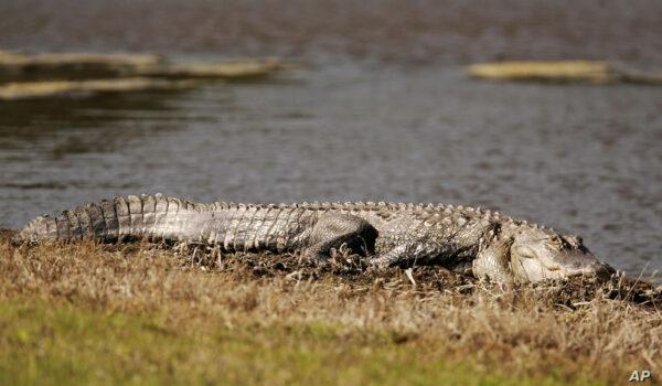 تمساح في كارولينا - فرانس برس