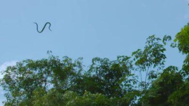"""Photo of بحركة لولبية تشبه الأمواج.. ثعابين تستطيع الطيران في الهواء وتجربة ثلاثية الأبعاد تكشف السر """"فيديو"""""""
