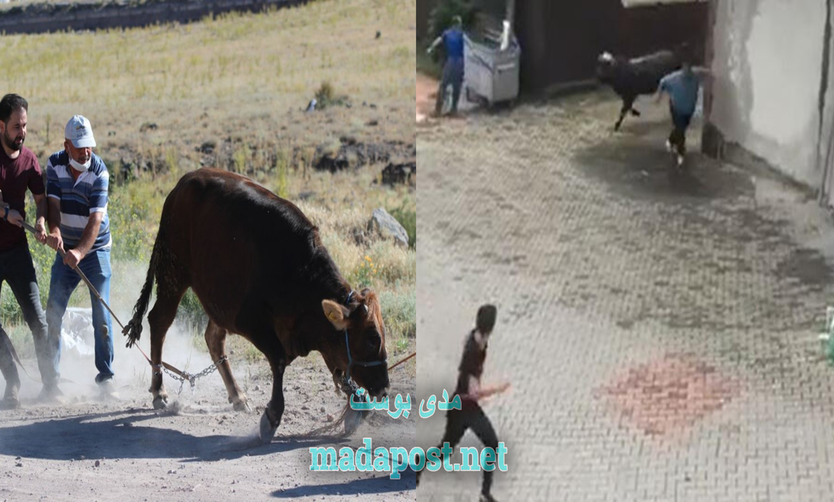 هروب الأضاحي في ولاية تركية - مدى بوست