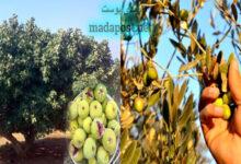 "Photo of ""والتين والزيتون وطور سينين"".. هذه فوائد فاكهة التين وأسرارها"