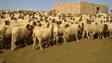 Photo of حدث في سوريا.. عرض كبش للبيع بسعر خمسة ملايين ليرة