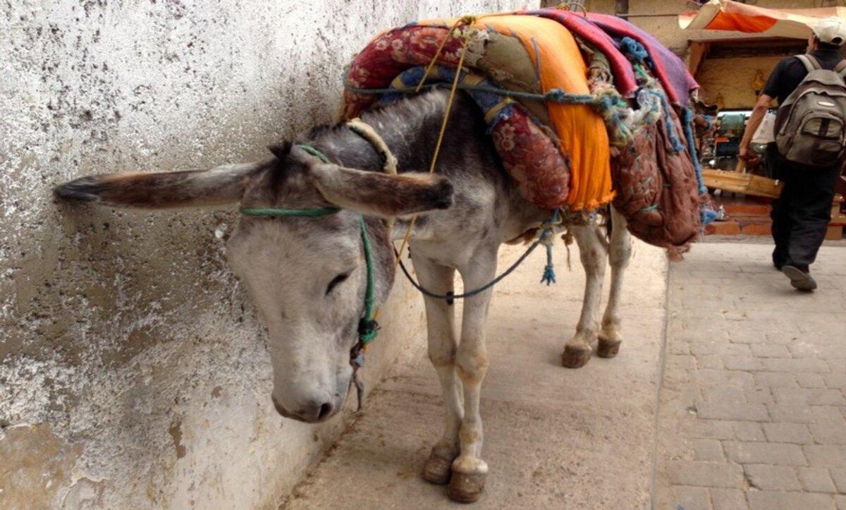 حمار في المغرب -مواقع التواصل