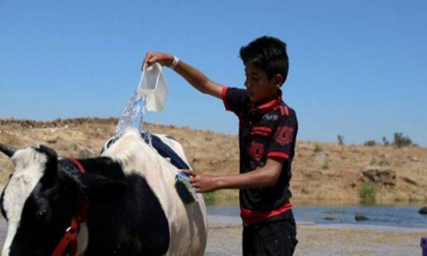 أبقار سوريا - مواقع التواصل نظام الأسد يفضل الأبقار على السوريين ويقدم لهم الشاي في مزاد بأربعين مليار ليرة (فيديو)