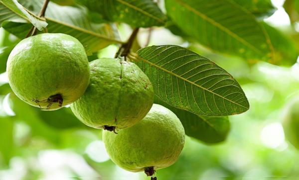 تزيد الخصوبة وتساعد على خسارة الوزن.. تعرف على فوائد الجوافة المذهلة