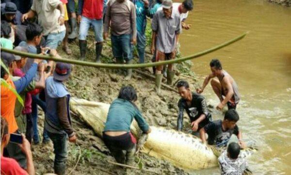 لحظة إخراج طفل من معدة تمساح في إندونيسيا (فيديو)